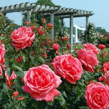 A closeup of a beautiful rose garden. Pink roses are in bloom.